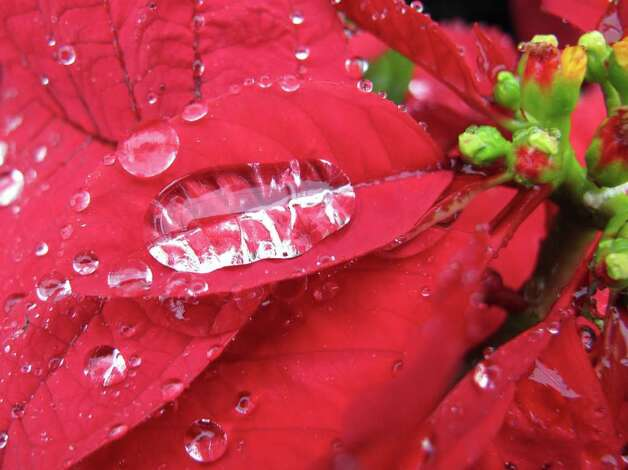 Much-needed rain decorated poinsettias during a recent shower.  Rain is critical right now for drought-stressed plants and trees, to help them survive during the cold weather to come. Photo: For The Express -News, Forrest Mims III