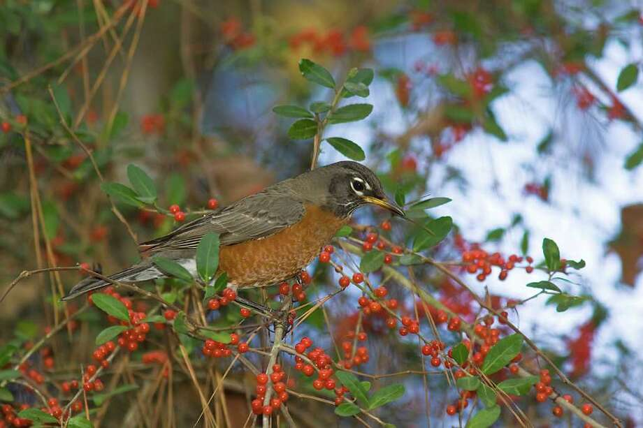 Early European settlers named the American robin for the robin of Europe.  Our robin is really a thrush.  Large numbers of them winter in Texas.  Photo Credit:  Kathy Adams Clark.  Restricted use. Photo: Kathy Adams Clark / Kathy Adams Clark/KAC Productions