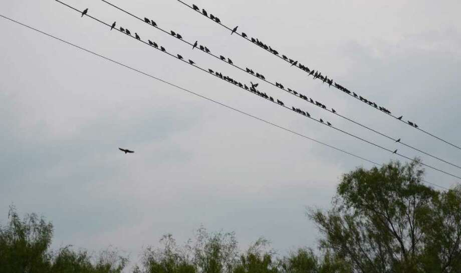 BIRDS ON A WIRE: White-winged doves by the dozens rest on a power line near Pearsall before taking off to find food and water in areas where lucky late-season hunters will experience some fine wing-shooting action. Mourning doves are other hunters' favorite during the late season.