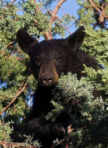 CHRONICLE FILE HABITATS: Researchers say urban sprawl also is impacting bear populations. Photo: Kathy Adams Clark / Kathy Adams Clark/KAC Productions