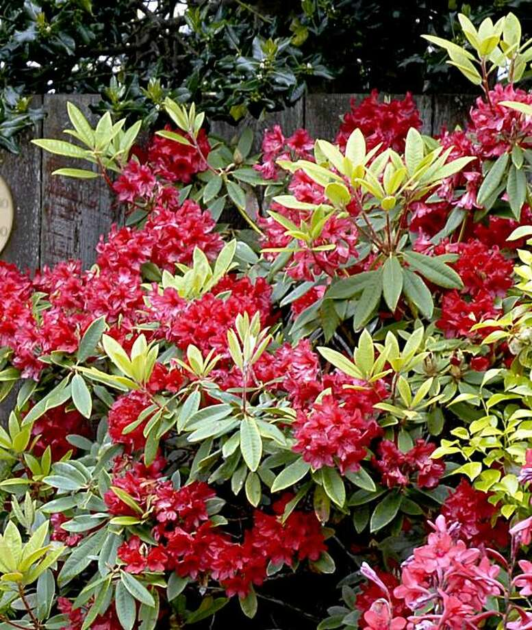 Regular water and light pruning keeps rhodendrons healthy and nicely shaped. Photo: Pam Peirce