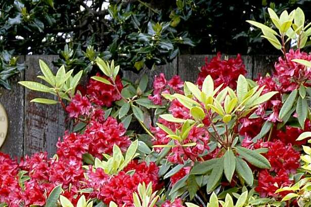Regular water and light pruning keeps rhodendrons healthy and nicely shaped.