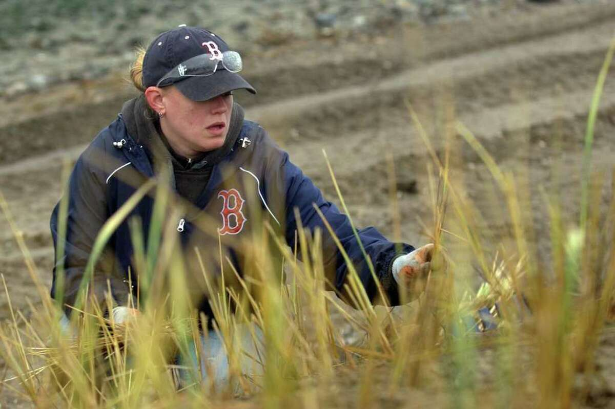 All Habitat Services employee Jaime Lindquist plants beach grass as part of a beach conservation project by thye Connecticut Audubon Society at Stratford Point in Stratford, Conn. on Wednesday December 21, 2011.
