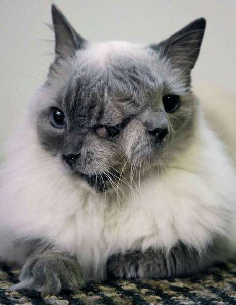 A cat with two faces, named Frank and Louie, set a Guinness record by surviving for 12 years in Massachusetts. Photo: ASSOCIATED PRESS
