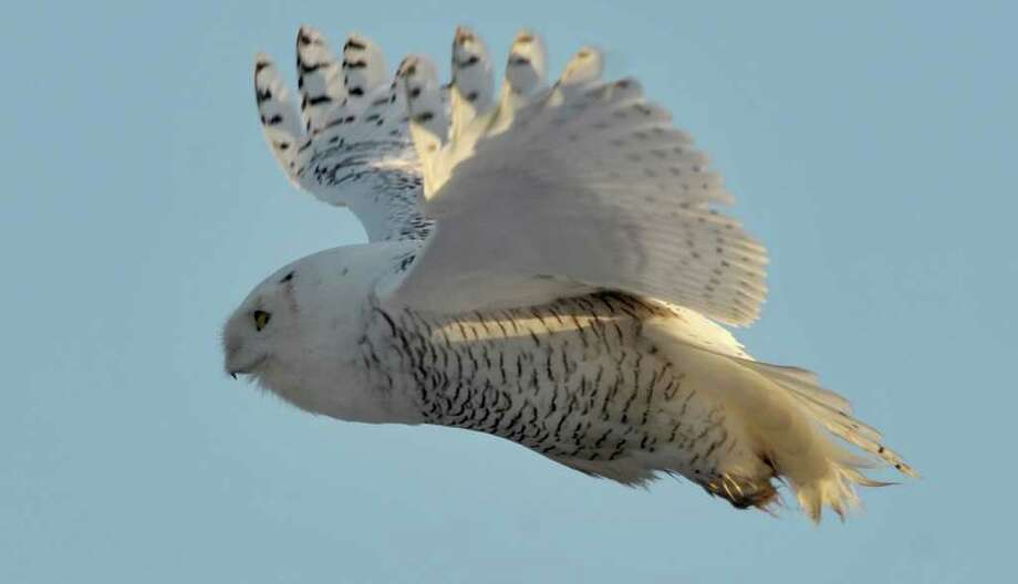 A snowy owl takes to the air after perching on a chimney in  Sandy Point, Wash. Photo: Andy Bronson, Associated Press / 2011