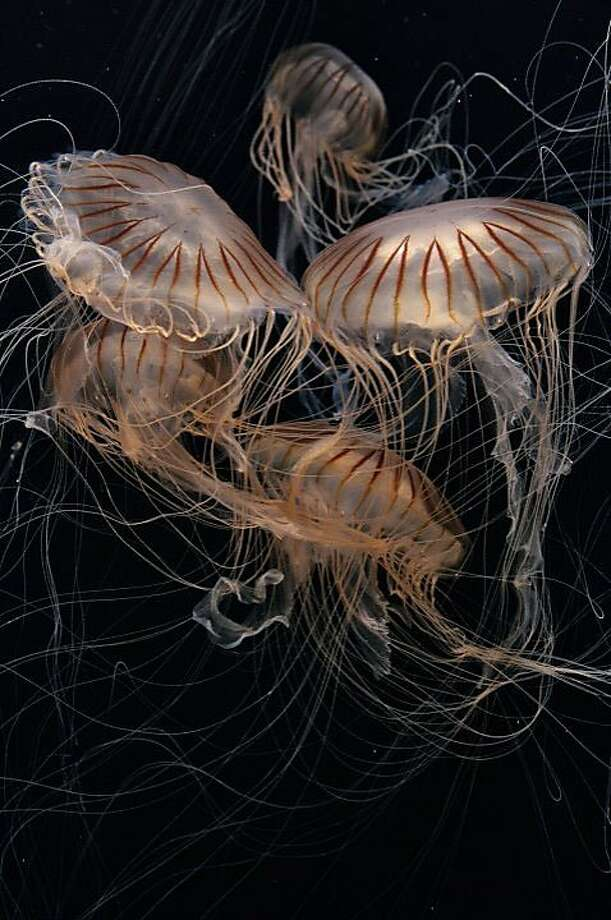 """Japanese sea nettles, Chrysaora pacifica, will be featured in """"The Jellies Experience"""" exhibition, opening at the Monterey Bay Aquarium on March 31, 2012. Photo: Randy Wilder, Monterey Bay Aquarium"""