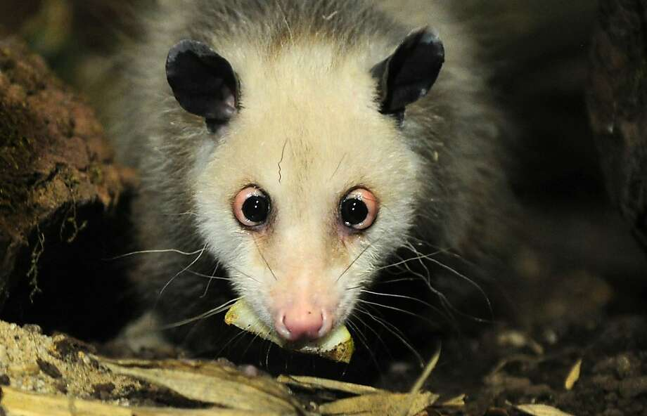 This 2011 file photo shows Heidi the cross-eyed opossum at the zoo in Leipzig, Germany. Over the Thanksgiving holiday, a California man was removed from a JetBlue flight because he was traveling with a pet opossum named Zatara. TSA does not ban opossums from traveling in airplanes, but airlines can set their own rules on animal transport. Photo: Johannes Eisele, Getty