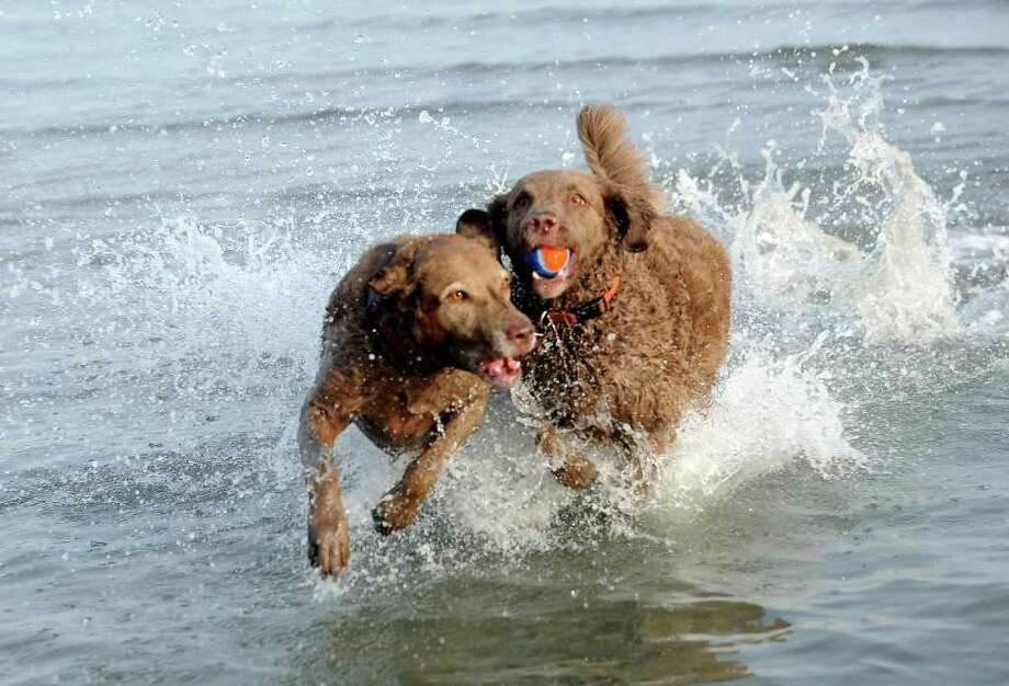 Two Chesapeake Bay retrievers, Carolina, left and G.G, play in the water at Greenwich Point Thursday, Dec. 29, 2011. The dogs belong to Mary Fike of Old Greenwich. Photo: Helen Neafsey / Greenwich Time