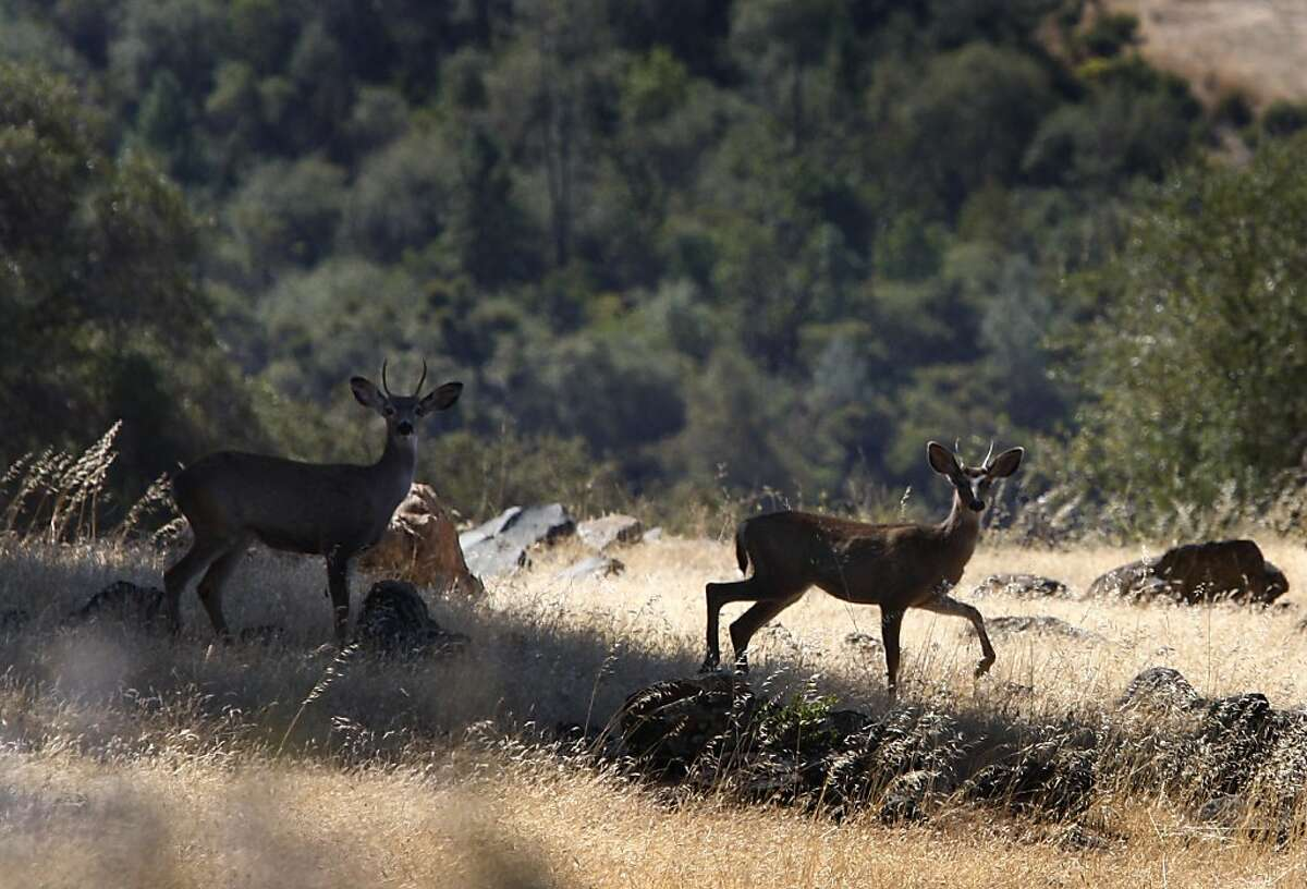 Two deer wander through the Excelsior property above the banks of the Yuba River in Smartsville, Calif., on Thursday, Oct. 1, 2009. The Trust for Public Land is acquiring several hundred acres of private land and will eventually transfer it to public open space.