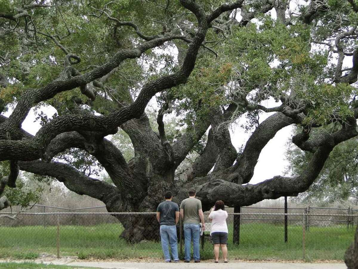 Visitors take a long look at the big live oak at Goose Island State Park near Rockport. The tree, estimated at about a thousand years old, measures more than 35 feet around its trunk.Credit: Tracy Hobson Lehmann / San Antonio Express-News.