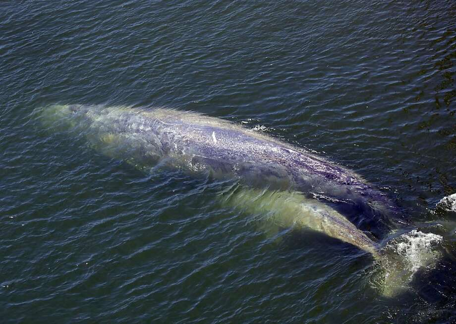 """FILE - In this  July 21, 2011 file photo, a baby gray whale is seen with it's mother in the Klamath River in Klamath, Calif. The gray whale nicknamed """"MaMa"""", died last summer from a fungal skin infection caused by the river's fresh water, scientists said. The calf made it back to the Pacific Ocean but the mother whale stayed behind. It was the end of a story that captivated many of the 800 people who live in the small coastal town. (AP Photo/ashalatylor.com, Ashala Tylor, file )  MAGS OUT; MANDATORY CREDIT; EDITORIAL USE ONLY Photo: Ashala Tylor, Associated Press"""