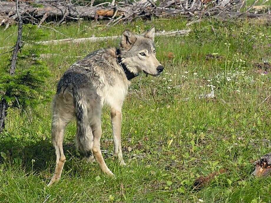 Wolf B-300, the mother of OR7, on July 17, 2009 in Wallowa County. Oregon Department of Fish and Wildlife snapped this picture after capturing and placing a new radio collar on the wolf; its collar stopped working back in fall 2008 Wolf B-300 on July 17, 2009 in Wallowa County. ODFW snapped this picture after capturing and placing a new radio collar on the wolf; its collar stopped working back in fall 2008. Photo courtesy of ODFW. B-300 was first confirmed in the state back in January 2008. More information. Download high resolution image. Photo: Courtesy ODFW