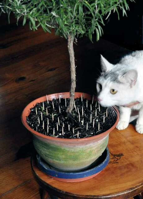 ASSOCIATED PRESS DETERANT: Toothpicks placed in the soil might keep cats away from the plants. Photo: Lee Reich / ap