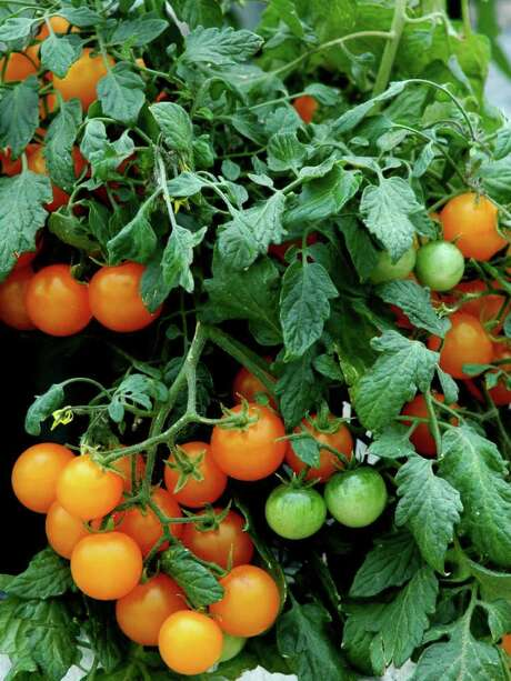 McCLATCHY TRIBUNE TASTY: The 'Tumbling Tom Yellow' tomato is a prolific producer. Photo: MCT / MCT