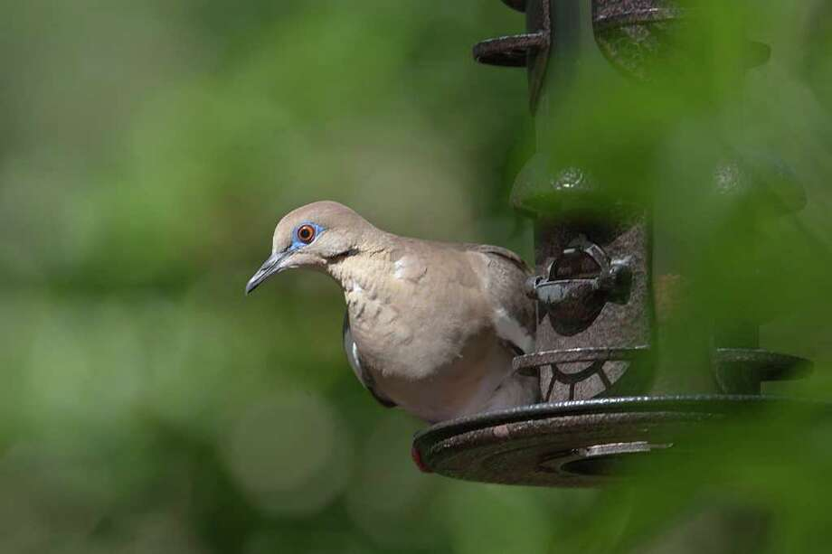 ONE BY ONE: Ordinary people can get into the bird count to track birds, such as this white-winged dove. Photo: KATHY ADAMS CLARK / Kathy Adams Clark/KAC Productions