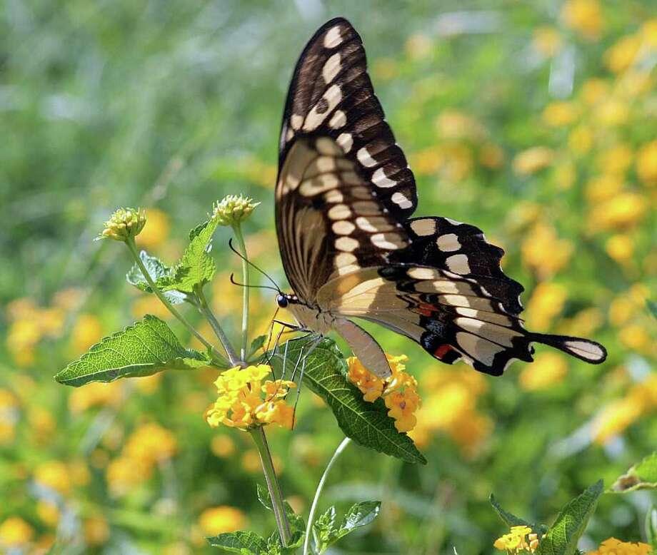 A  swallowtail butterfly  collects nectar from  drought-tolerant lantana. Photo: SCOTT M. LIEBERMAN / Dr. Scott M. Lieberman