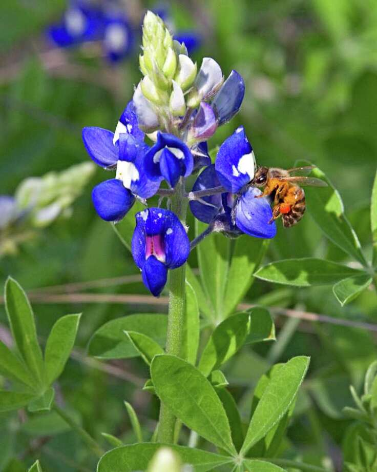 FOR THE FUTURE: Try transplanting bluebonnets now for spring blooms. Transplants are available at nurseries now. Photo: RICHARD OLIVIERI: WILDFLOWERHAVEN.COM