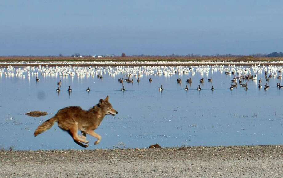PETER DaSILVA: NEW YORK TIMES  BIRDS: A coyote races by snow geese in a rice field near Chico, Calif. Conservation efforts have been too successful. Photo: PETER DASILVA / NYTNS