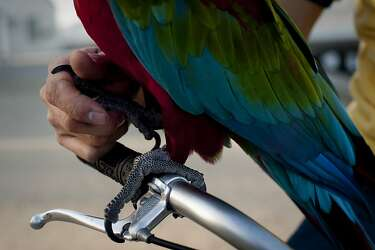 Tropical macaw parrots SF man's feathered friends - SFGate
