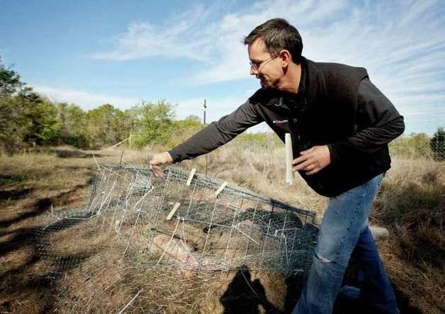 Dr. Jeff Tomberlin places a wire cage over the carcass of a pig at the Forensic Anthropology Research Facility in San Marcos. Photo: SAN ANTONIO EXPRESS-NEWS, Darren Abate / SPECIAL TO EXPRESS-NEWS