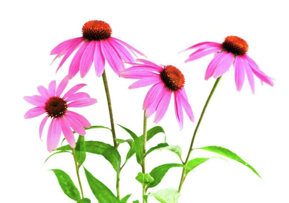 Echinacea has gained popularity in recent years as a remedy for the common cold. But because it is not regulated as a medical drug by the FDA -- and given the variation between dosages and formulations available to consumers -- it is difficult to get definitive answers as to its effectiveness. Photo courtesy of iStock Photo: Contributed Photo