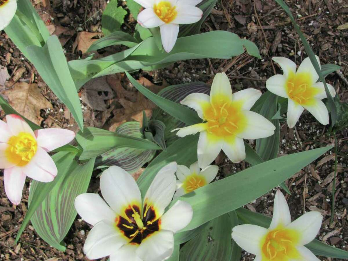These botanical tulips are a cheerful sight. If you're having trouble waiting for spring, explore some gardening blogs and enjoy the photos.