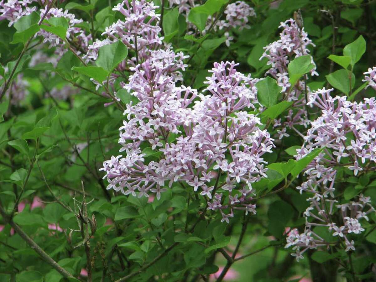 Explore some garden blogs this month to enjoy photos of luscious lilacs such as these, as well as other blooming beauties.