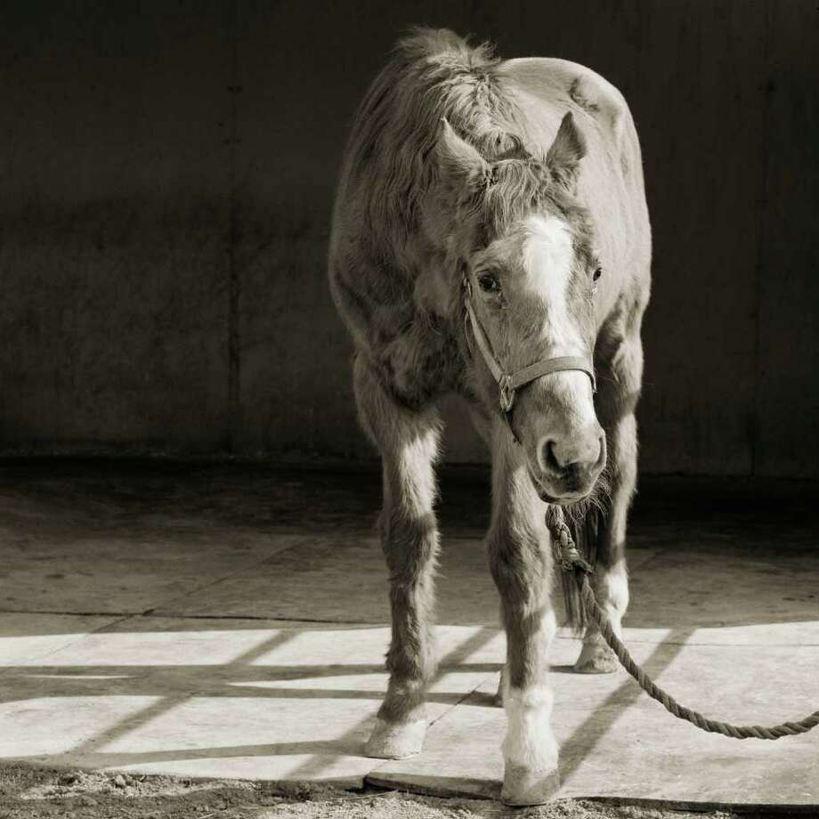Handsome One, a 33-year-old thoroughbred horse, was among aging animals in Isa Leshko's Elderly Animals to be at the Houston Center for Photography. (elderlyanimals.com)