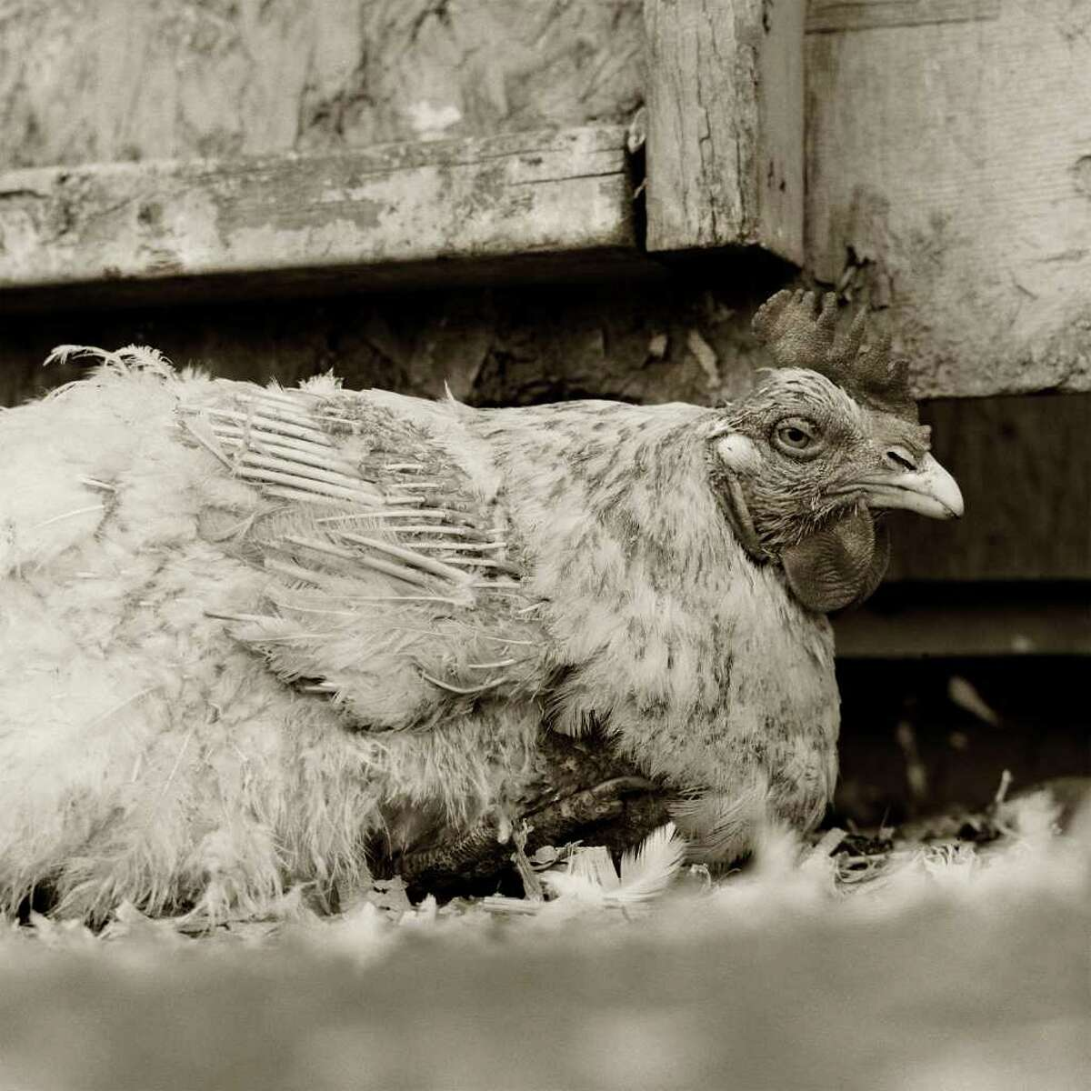 A rooster is among Leshko's subjects. (elderlyanimals.com)