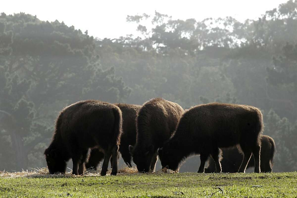 The six remaining young Bison feed inside the paddock area of Golden Gate park, on Thursday Jan. 5, 2012. The number of young Bison brought into Golden Gate Park, in San Francisco, Ca., in November has been reduced to six after one animal was found dead inside the paddock area. The investigation into the death continues.