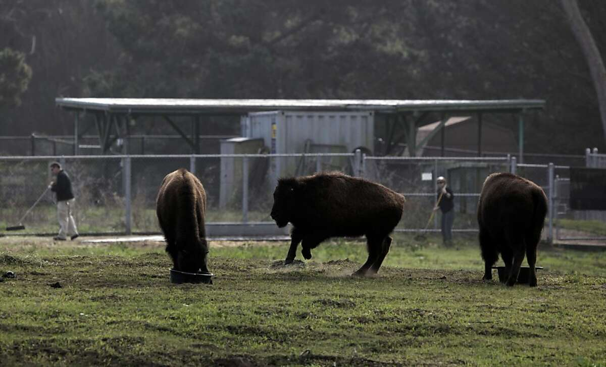 Three of the six remaining young Bison feed inside the paddock area of Golden Gate park, on Thursday Jan. 5, 2012. The number of young Bison brought into Golden Gate Park, in San Francisco, Ca., in November has been reduced to 6 after one animal was found dead inside the paddock area. The investigation into the death continues.