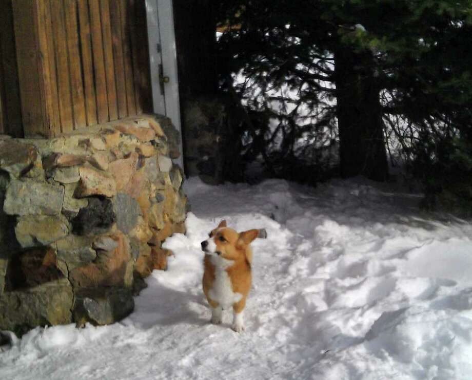 In this photo released by Natasha Baydakova on Wednesday Jan. 4,2011 showing a Welsh corgi dog named Ole that showed up at a Cooke City motel four days after the dog and its owner were swept up in an avalanche. The dogís owner died. The dog returned to this motel where they had been staying before going back country skiing. (AP Photo/Natasha Baydakova) Photo: Natasha Baydakova, ASSOCIATED PRESS / AP2012