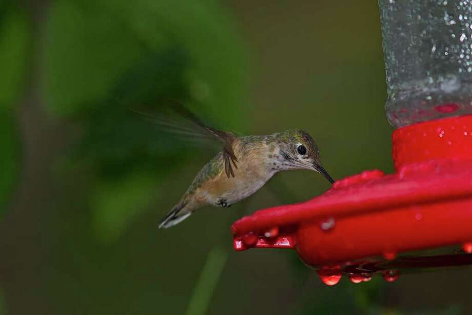 Calliope hummingbird at a backyard feeder in The Woodlands, Texas.  Calliopes breed in the Pacific Northwest and winter in Mexico, but some visit the Texas coast each winter. Photo: Kathy Adams Clark / Kathy Adams Clark/KAC Productions