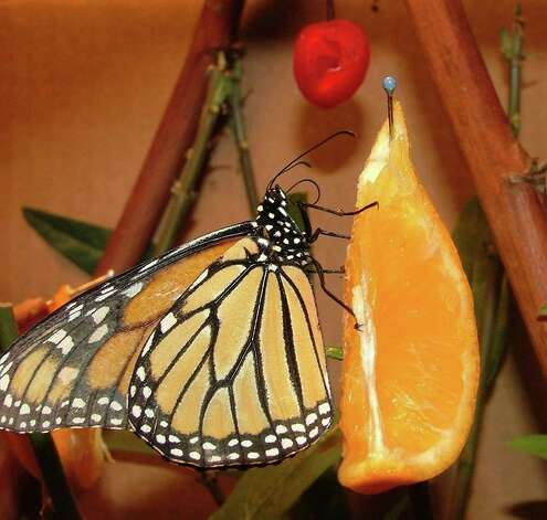 This is one of a dozen winter monarchs that were raised from larvae found by Bob Pish shortly before Christmas. Photo: Bob Pish, Courtesy