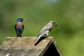 A Western bluebird, left, with captured insect. The birds forage in a variety of habitat — on the ground, on plants and in the air.