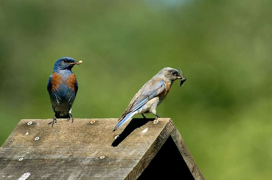 A Western bluebird, left, with captured insect. The birds forage in a variety of habitat — on the ground, on plants and in the air. Photo: John Schuster, 2011