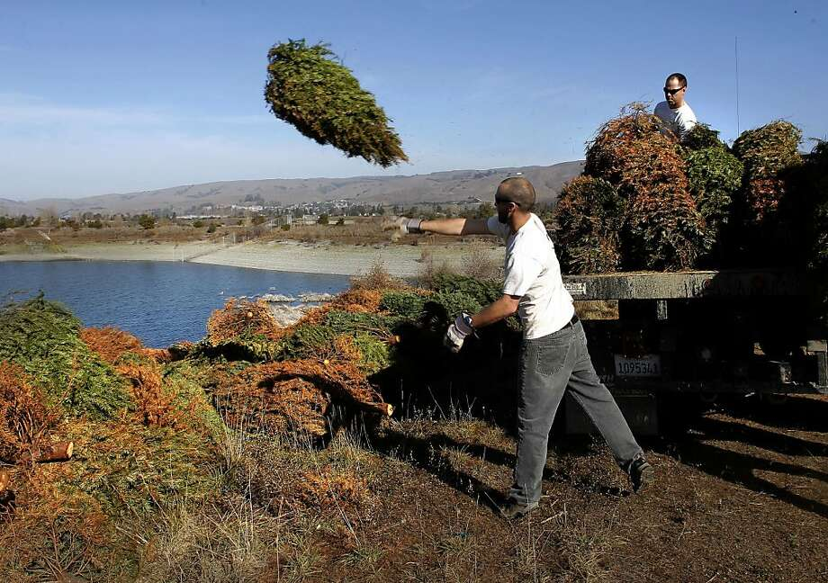 Joe Sullivan (left) and Joshua Porter unload some of the 1,000 Christmas trees at the edge of Rainbow Lake in Fremont. Volunteers will help with many more today. Photo: Michael Macor, The Chronicle
