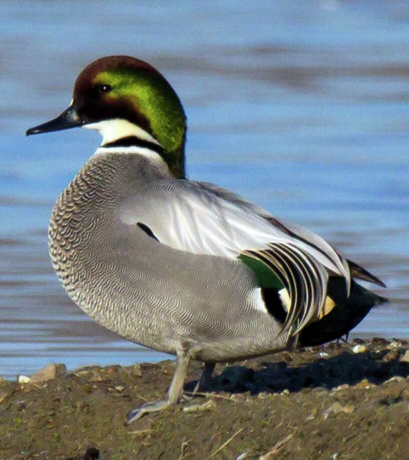 Falcated duck  Photo: Michael Peters / Colusa National Wildlife Refuge