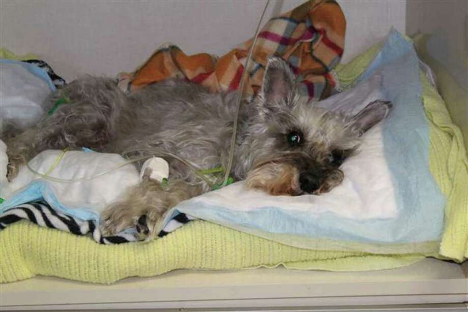 A man slammed Chester the schnauzer against a bathroom wall and bathtub in a North Side apartment, authorities say. Photo: COURTESY PHOTO
