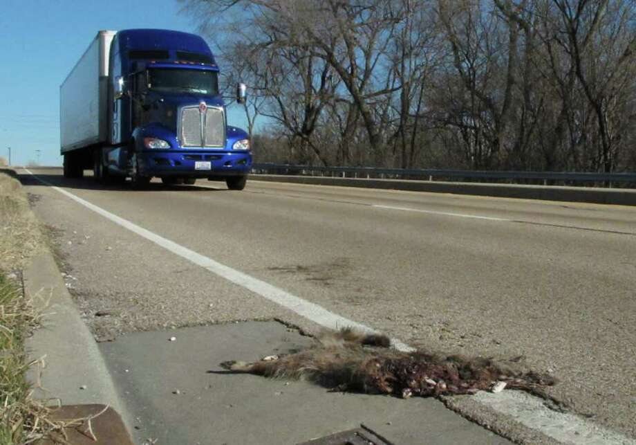 ADVANCE FOR USE SUNDAY, JAN. 8 AND THEREAFTER - In this photo taken Jan. 4, 2012, a tractor-trailer rumbles by a roadkill raccoon near Caseyville in southwestern Illinois. Illinois lawmakers last year signed off on letting citizens with appropriate state licenses and permits remove roadkill animals to salvage their pelts or perhaps even to eat. Gov. Pat Quinn had vetoed the measure, worried that motorists stopping to retrieve the roadside animals would be putting themselves in harm's way. But Illinois lawmakers overrode Quinn's veto of the bill that supporters said would save the state money in roadside cleanup and ensure the pelts on the dead animals would not go to waste.  (AP Photo/Jim Suhr) Photo: Jim Suhr