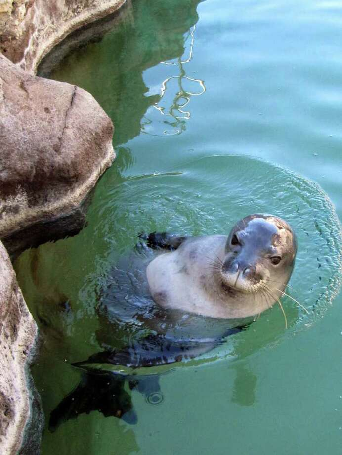 In this Dec. 15, 2011 photo, a nearly blind, endangered Hawaiian monk seal swims at the Waikiki Aquarium in Honolulu. Hoailona, also known as KP2, has spent the past two years at a California research lab. He was first rescued when federal officials found him suckling on a rock three days after his mother abandoned him on Kauai. Hawaiian monk seals are so rare and under so many environmental threats that they're on a path to go extinct in 50 to 100 years. As if that wasn't enough, anonymous humans appear to have deliberately killed at least three and maybe four seals on two islands in the past two months. (AP Photo/Audrey McAvoy) Photo: Audrey McAvoy