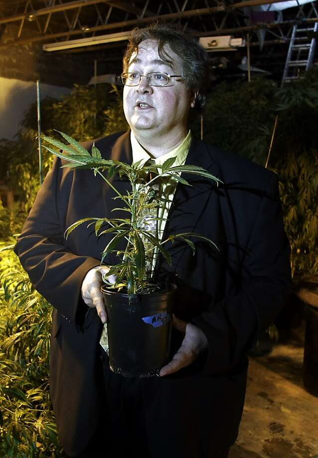 In this March 28, 2011 photo, Paul Stanford holds a marijuana plant in his growing facility in Portland, Ore. Stanford's business is medical marijuana, and he is the nation's leading gateway to the drug. In Oregon, Hawaii, Michigan and three other states where it's legal, he charges a small fee for access to friendly doctors. People walk in as customers and leave, mostly, as patients. (AP Photo/Rick Bowmer) Photo: Rick Bowmer, Associated Press