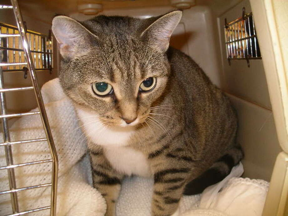 Missy is a gentle, affectionate 3-year-old tiger with beautiful green eyes. She would do best in a home with no rowdy dogs. She loves to cuddle and is not a scratcher. (Jill Perkins)