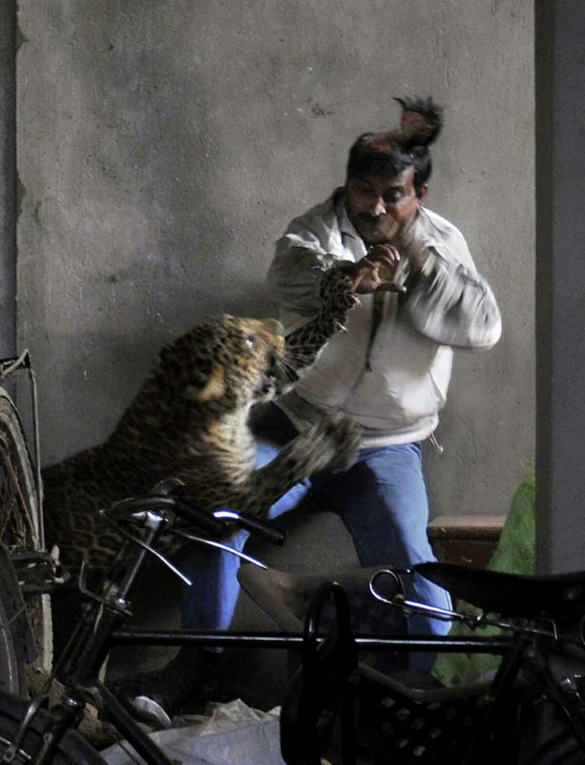 A leopard scalps the head of a man as it attacks after wandering into a residential neighborhood in Gauhati, in the northern state of Assam, India. Later Saturday the leopard was tranquilized by wildlife official and taken to the state zoological park. The leopard ventured into a crowded area and injured four people before it was captured and caged, local reports said. (AP Photo/Manas Paran, The Sunday Indian)