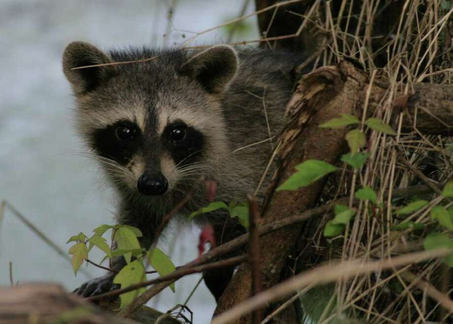 Winter brings out the wildlife, including this young raccoon at Brazos Bend State Park. Photo: Brazos Bend State Park, COURTESY