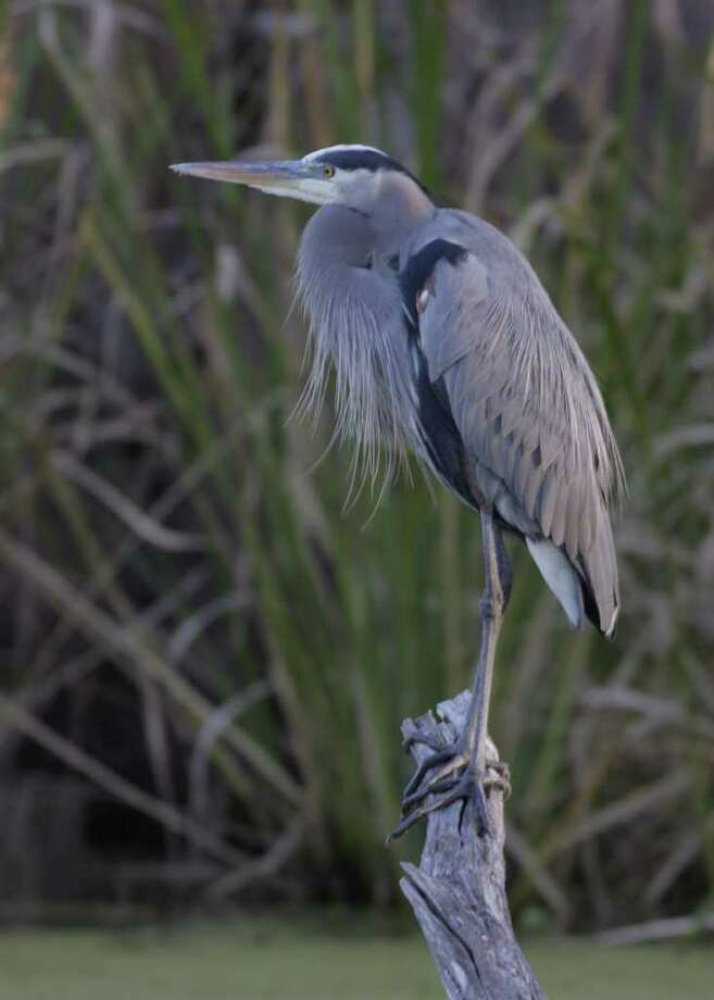 A great blue heron takes in the scene at Brazos Bend State Park. Photo: Brazos Bend State Park