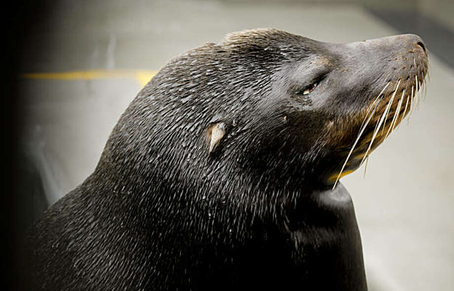 """Silent Knight"" a sea lion, is recovering from gunshots wounds, at the Marine Mammal Center, in Sausalito, Calif., on Sunday Dec. 26, 2010.The animal was rescued by the Center from a Sausalito beach on Dec. 8, 2010, the shooting left the 336 pound sea lion blind in the right eye. Photo: Michael Macor, The Chronicle"