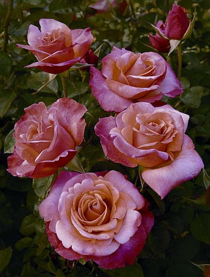 Colorific rose. Photo: Gene Sasse