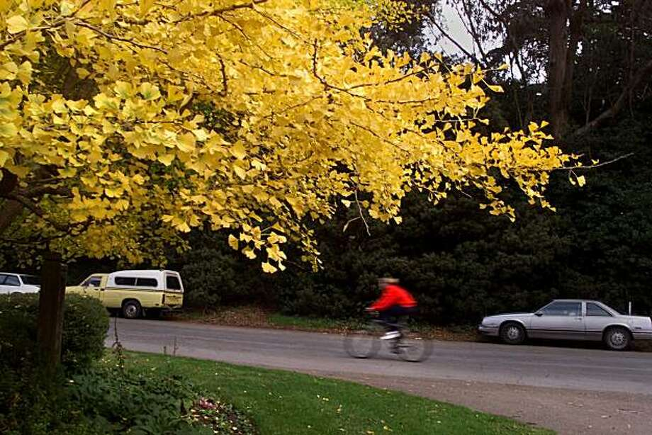 A Gingko Biloba tree in the Fushsia Dell,Golden Gate Park. Photo: Vince Maggiora, The Chronicle 2000