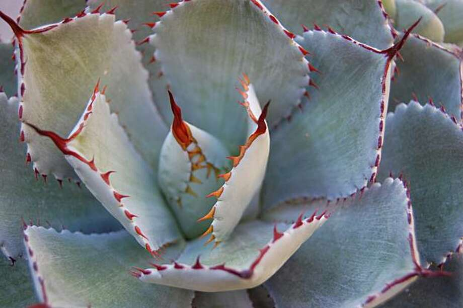 Agave potatorum Photo: Erle Nickel